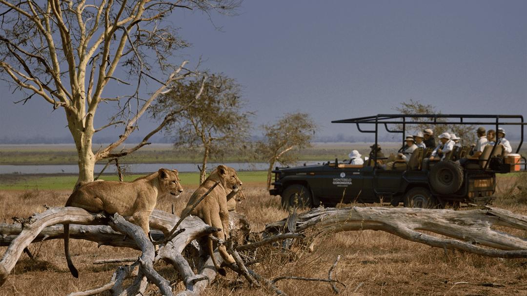 Lions at Gorongosa National Park (Photo by Olivier Grunewald)