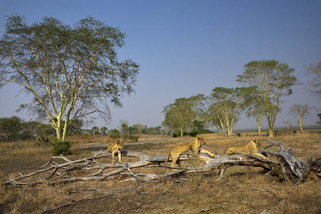 Lions at Gorongosa National Park (Photo by Olivier Grunewald)