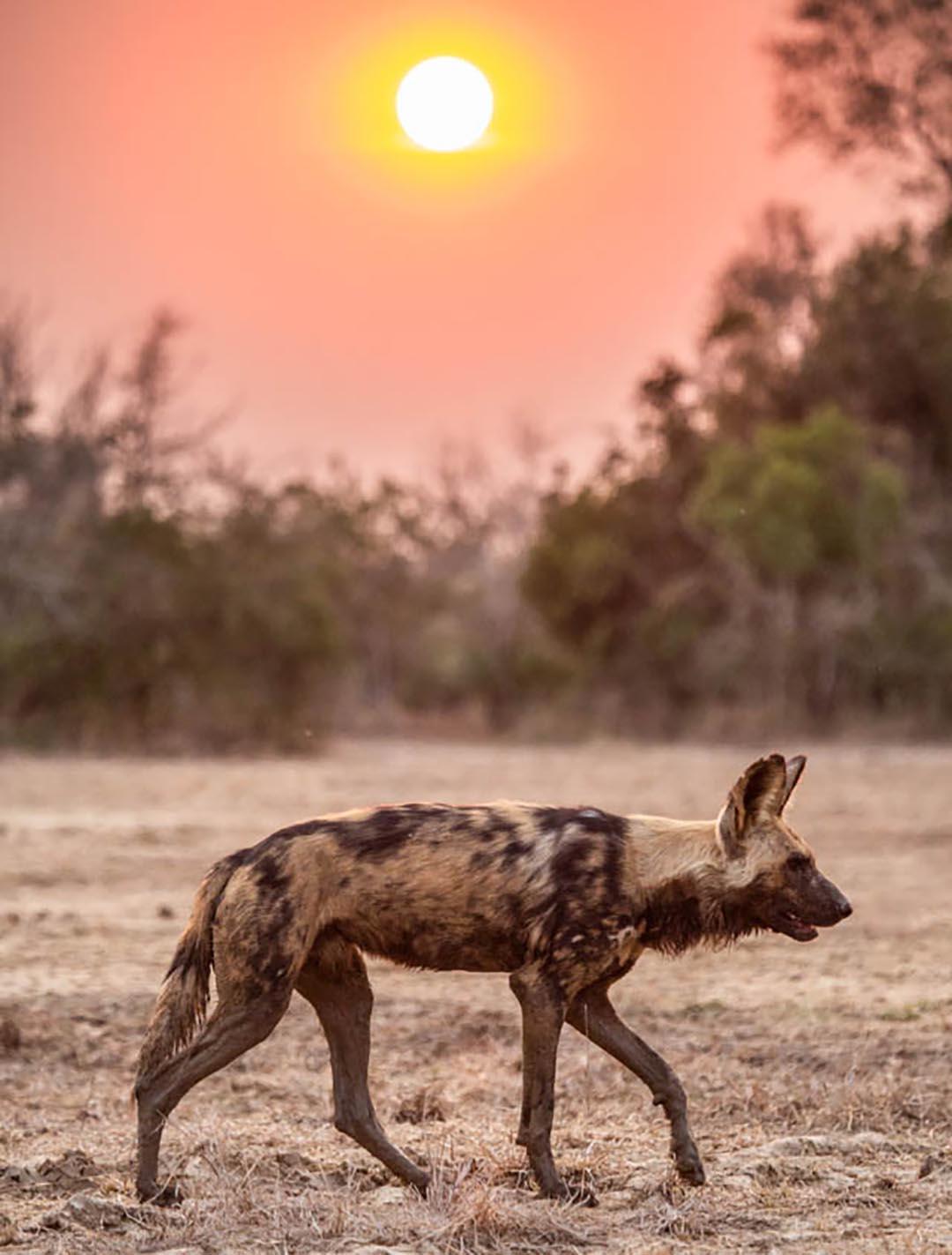 Painted Wolf, Gorongosa National Park, Mozambique