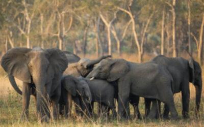 Gorongosa National Park's elephants featured in  landmark new project about elephant behavior.