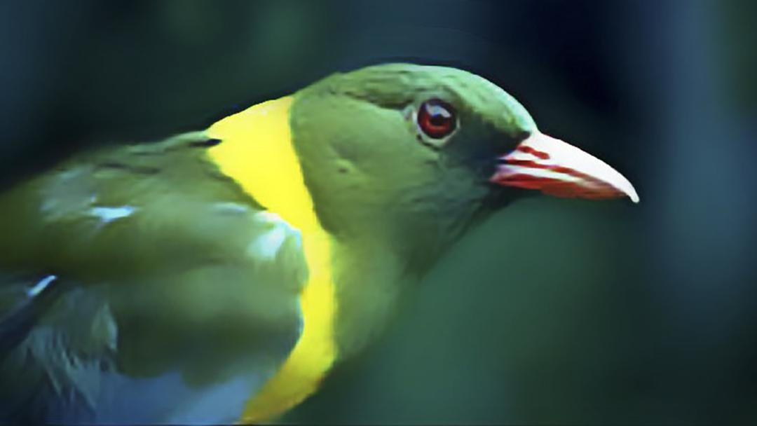 Green Headed Oriele - Mount Gorongosa