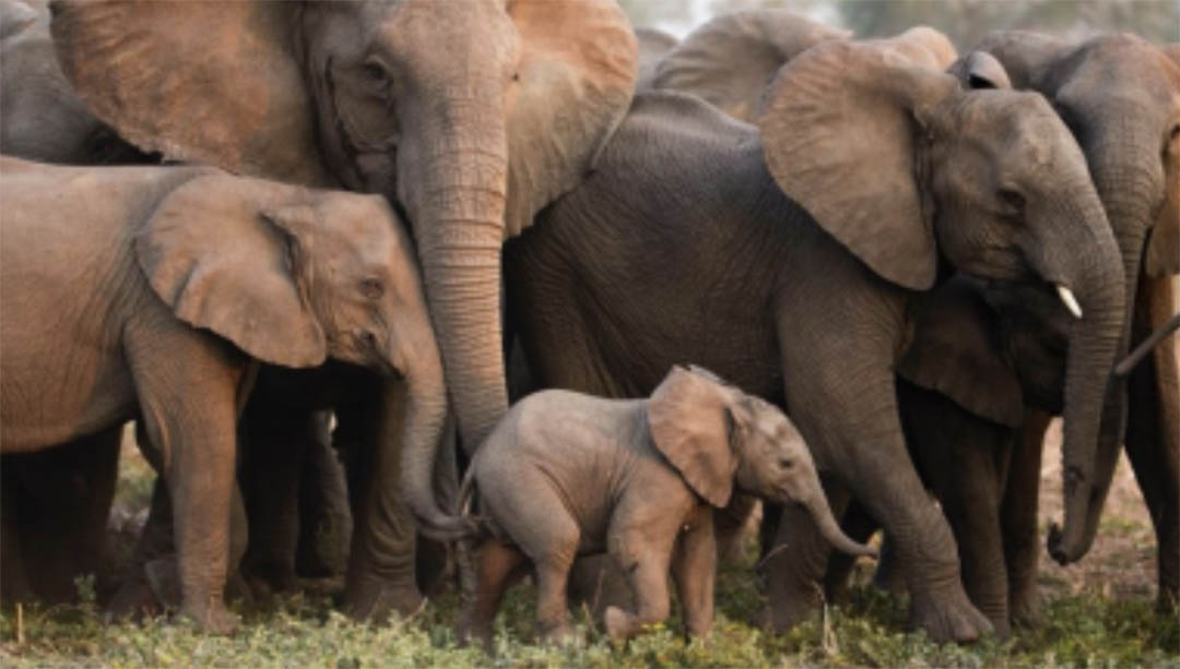 """""""Coo-Rumble"""": In Gorongosa Matriarch Junia and her daughter Coo-Rumble as they touch an infant.  Photo: ElephantVoices"""